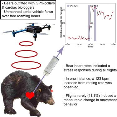 Bears get stressed out by drones 2