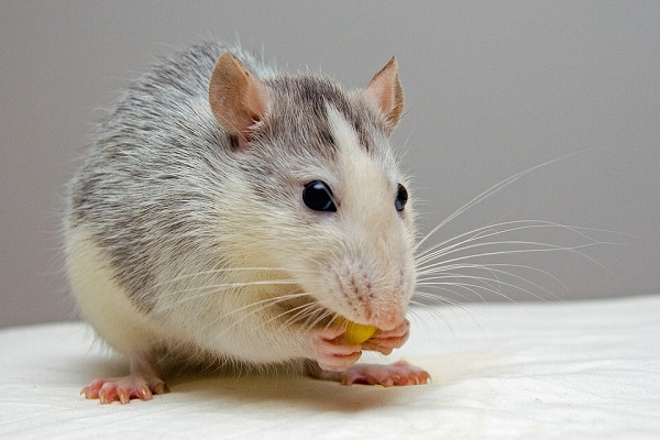 a gray and white rat