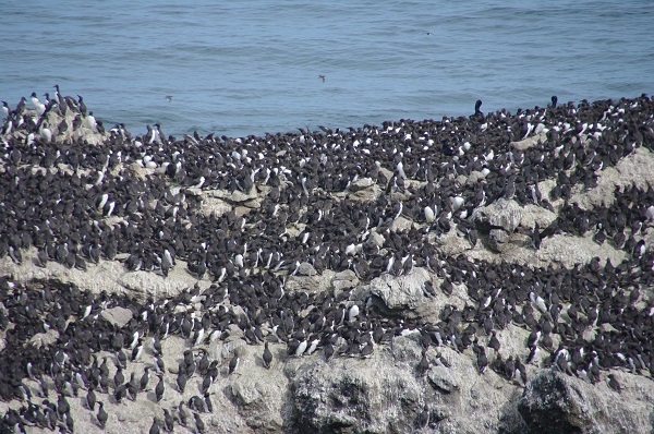 common murres resting on shore