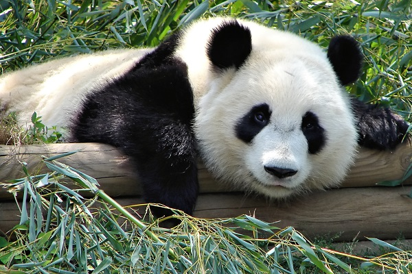 an adult panda bear