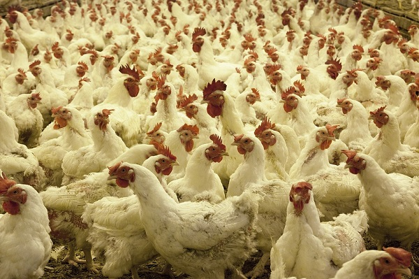 white chickens at a poultry farm