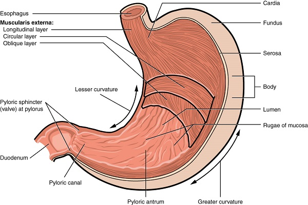 micromotors scheme of the stomach illustrated