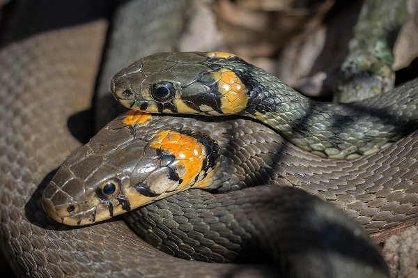 Deadly fungal disease that causes blisters and cracks the skin of snakes has made its way to Europe from the U.S.