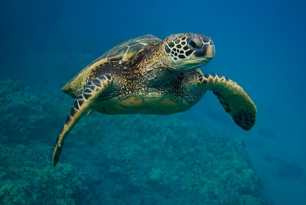 Researchers found that a population of green sea turtles residing in the northern Great Barrier Reef is almost made up entirely by females.