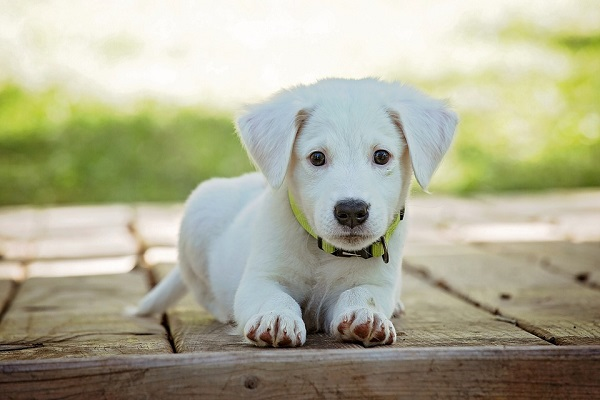 white pet dog