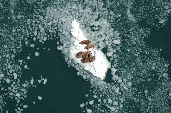 human activity responsible for sea ice loss