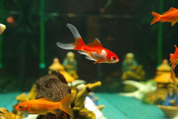 goldfish and some fish besides it in aquarium