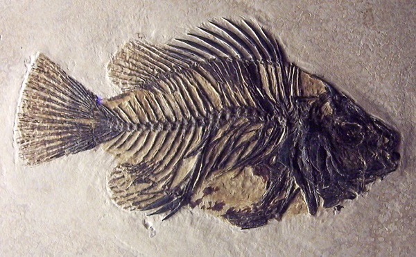 massive toothy fish fossil