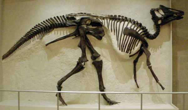 Hadrosaur skeleton in a museum
