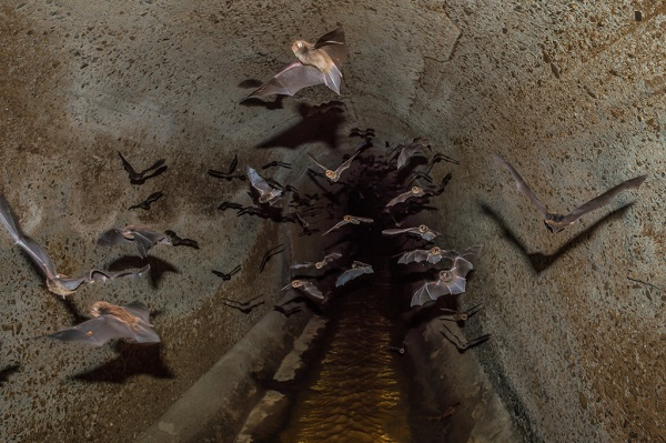 Vampire bats flying inside a sewer line.