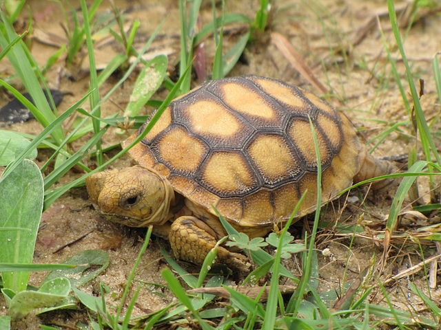 Gopher turtle